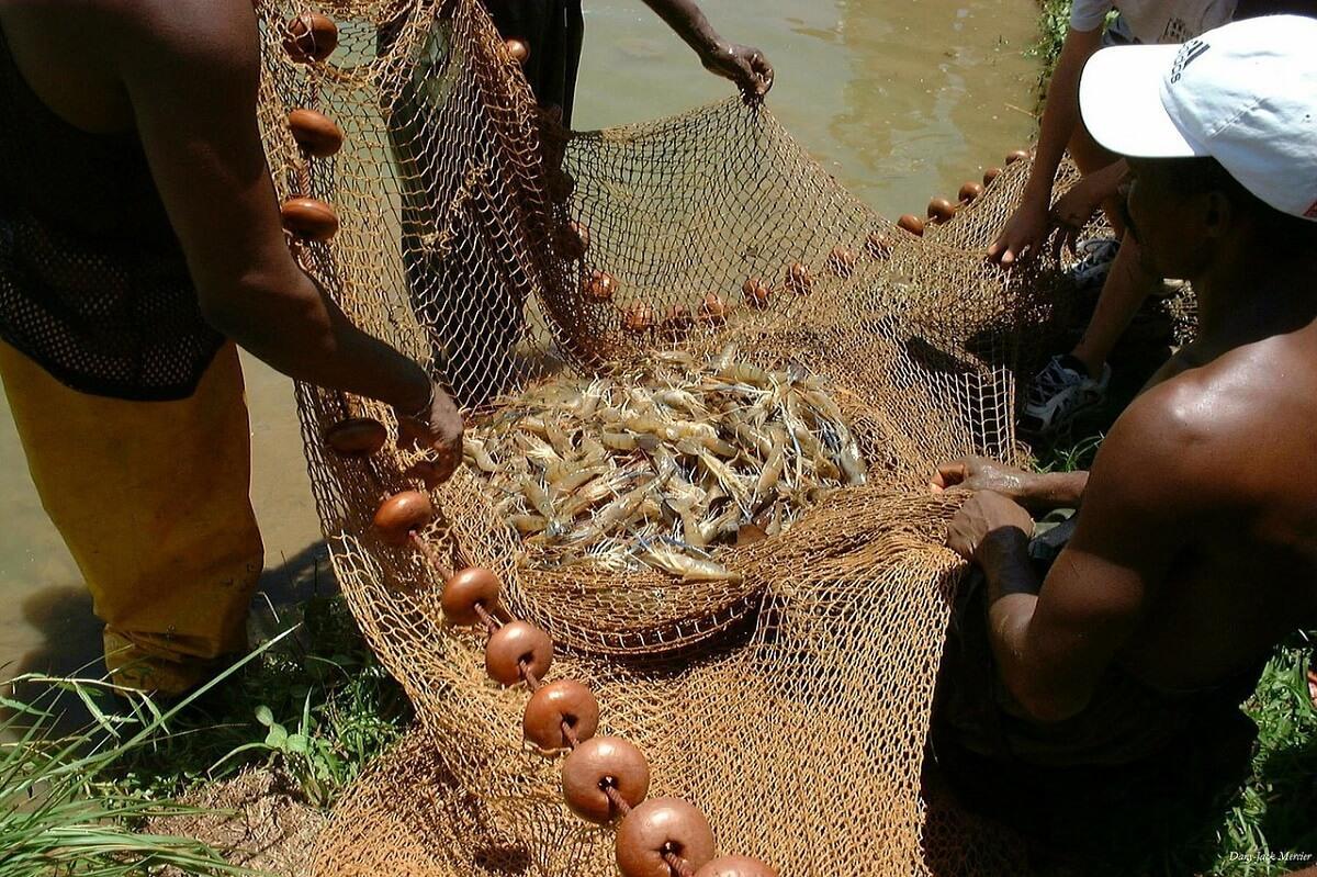 Fehér garnélarák, a tengeri herkentyűk legnépszerűbbike