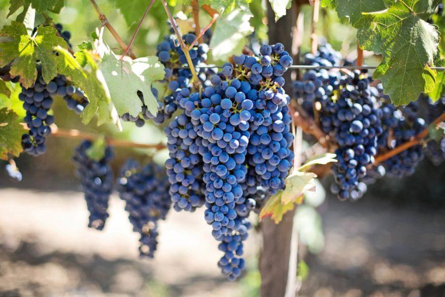Ma már Bacchus is szenzorral keresné a legszebb szőlőfürtöt